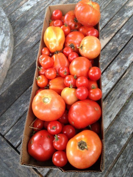 August tomatoes