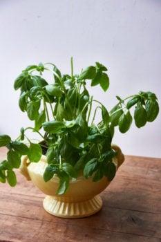 Nut-Free Basil Pesto with Pecorino Romano / Mia / Katie Workman / themom100.com